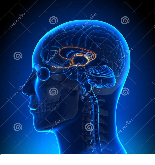 brain-anatomy-limbic-system-medical-new imaging-32283971